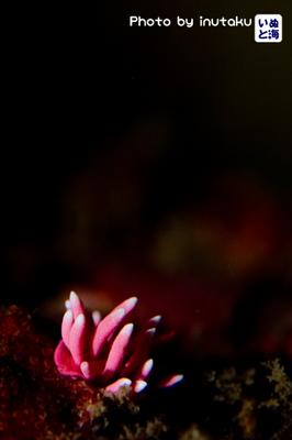 ヒロウミウシ
