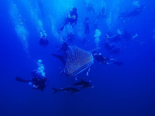 ジンベエザメに群がるダイバー