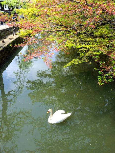 倉敷川の葉桜と白鳥