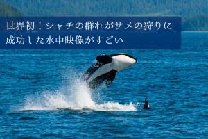 世界初!シャチの群れがサメの狩りに成功した水中映像がすごい